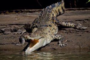 Crocodile - Palo Verde Boat Tour Safari - Native's Way Costa Rica - Tamarindo Tours