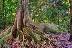 Flora Ficus Tree - Rincon de la Vieja National Park Tours - Native's Way Costa Rica - Tamarindo Tours and Transfers