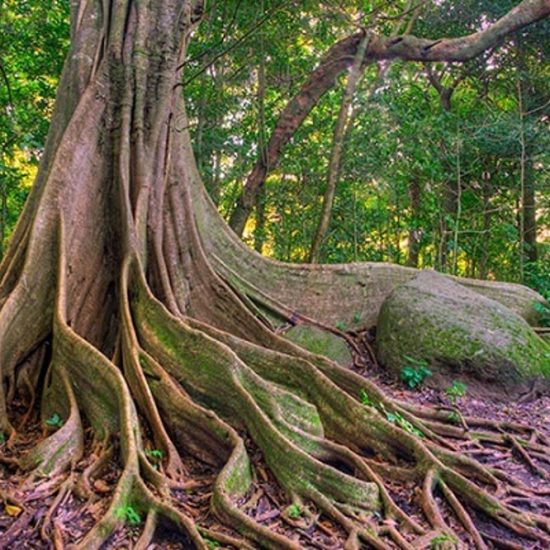 Ficus Tree - Rincon de la Vieja Volcano National Park Tours - Native's Way Costa Rica Tours and Transfers