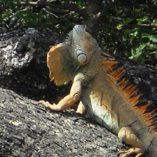 Iguanas - Palo Verde Boat Tour Safari - Native's Way Costa Rica - Tamarindo Tours