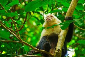 White Face Monkey - Rincon de la Vieja Volcano National Park Tours - Native's Way Costa Rica - Tamarindo Tours and Transfers