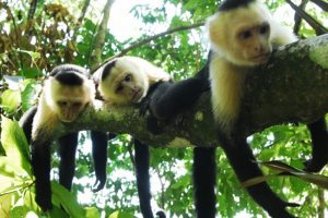 White Face Monkeys - Palo Verde Boat Tour Safari - Native's Way Costa Rica - Tamarindo Tours