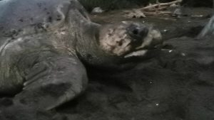 Tamarindo Turtle Nesting Tour - Native's Way Costa Rica Tamarindo Tours & Transfers
