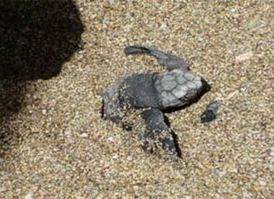 Tamarindo Turtle Nesting Watching Tour - Native's Way Costa Rica - Tamarindo Tours & Transfers